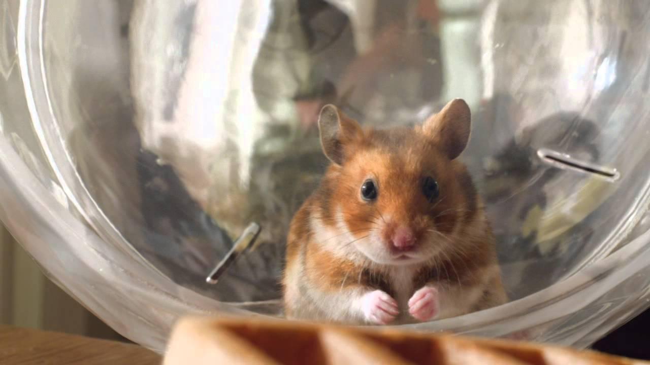 Framily Hamster