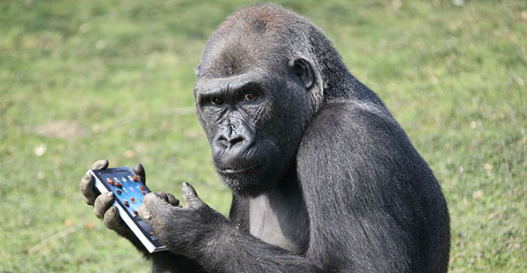 Gorilla Using iPhone