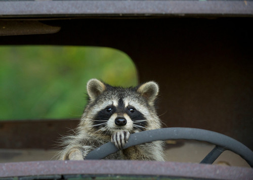 Raccoon Driving A Car
